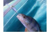 ZipBaits - Воблер Rigge Deep 35F 810 - фотография пользователя