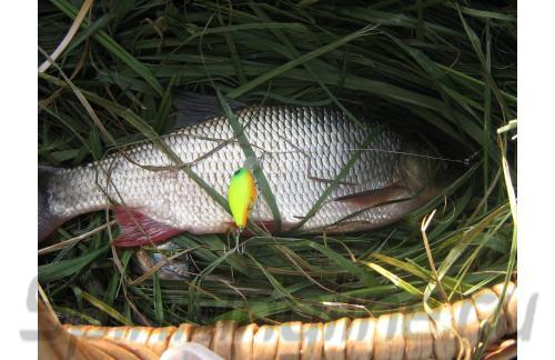 Воблер Chubby 38F matt chartreuse - фотография загружена пользователем 2