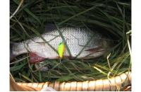 Jackall - Воблер Chubby 38F matt chartreuse - фотография пользователя