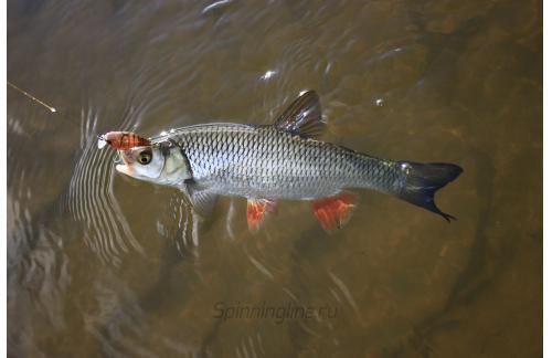 Jackall - Воблер Chubby 38F brown suji shrimp - фотография пользователя