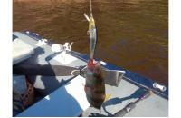 Megabass - Воблер X-70 m ginkuro ob - фотография пользователя