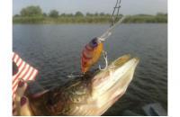 Jackall - Воблер DD Chubby 38F clear shrimp - фотография пользователя