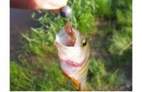"""Crazy Fish - Polaris 2.2"""" 8-6 - ���������� ������������"""