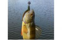 """Crazy Fish - Приманка Vibro Worm 2"""" 14-6 - фотография пользователя"""