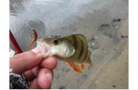 Crazy Fish - Nano Minnow 14-1 - фотография пользователя