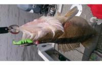 Окунев Владимир - Поролоновая рыбка Окунева 1А-2 - фотография пользователя