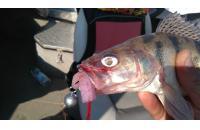 Окунев Владимир - Поролоновая рыбка Окунева R-9 - фотография пользователя